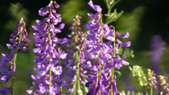 Stock Video Footage of Vetch (Vicia sp.) flowers swaying in the wind on the meadow