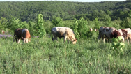 Stock Video Footage of Herd of cows (Bos taurus taurus) grazing on the overgrowing by trees meadow