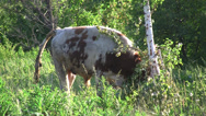 Stock Video Footage of Bull (Bos taurus taurus) rubbing his horns on a birch to mark the territory