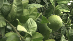 An Italian Fruit, Cinotti, growing on trees Stock Footage