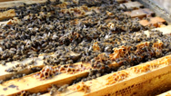 Stock Video Footage of Bee frame , Bees And Hives ,bees in apiary,beehive,Beekeeper