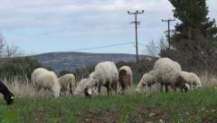 Sheep in the field (1) Stock Footage
