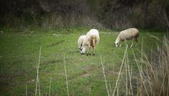 Sheep in the field (2) Stock Footage
