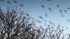 Snow Geese Flying, Blue Sky, Treetop Stock Footage