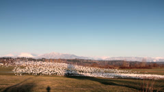 Snow Geese Taking off / Sound of Gunfire Stock Footage
