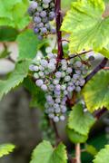 Long bunch of ripe red wine grapes Stock Photos