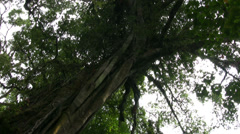 Huge tree in the tropical forest around Tamblingan lake, Bali Stock Footage