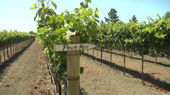 Rows of Pinot Noir Wine Grape Vines - stock footage