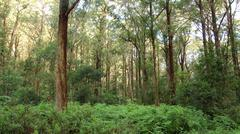 eucalypt forest - Australian Landscape - stock photo
