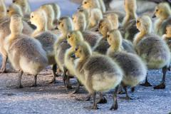 Group of goslings walking Stock Photos