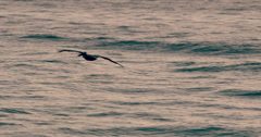 Pelican in Flight Over Ocean Stock Footage