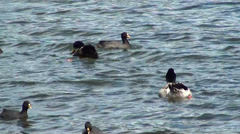 0650  Birds swimming in a lake Stock Footage
