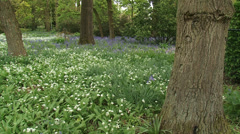Carpet of Ramsons, Allium ursinum in city park, early spring Stock Footage