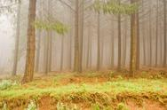 Stock Photo of Misty Pine Forest