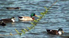 0653  Birds swimming in a lake Stock Footage