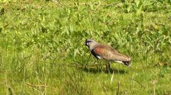 0651  Small bird on a green floor - stock footage