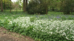 Pan Carpet of Ramsons, Allium ursinum in city park, early spring Stock Footage