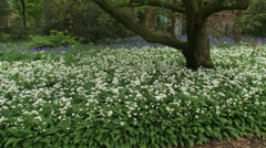 Zoom in / zoom out Carpet of Ramsons, Allium ursinum in city park Stock Footage