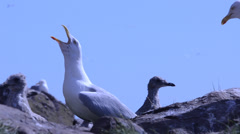 Herring Gull (Larus argentatus)  Bass Rock Stock Footage