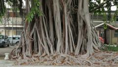 Banyan tree in downtown noumea, new caledonia Stock Footage