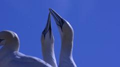 Gannet courtship  at  Bass Rock ( Morus bassanus), UK Stock Footage