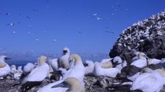 Morus bassanus, Sula, gannet, gannetry, Bass Rock, Stock Footage