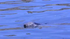 Phoca vitulina foca harbour seal pinnipedi mammiferi mare sea isole Farne En Stock Footage