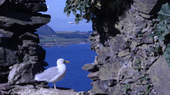 Herring gull, Larus argentatus, gull, bird, ruins,  Bass Rock, Scotland Stock Footage