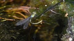 Coenagrion puella,, damselfly ,odonata, zigoptera, Stock Footage