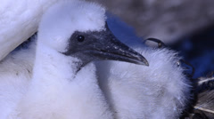 Morus bassanus, Sula, gannet, gannetry, Bass Rock, - stock footage