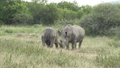 Two white rhino sizing each other up. - stock footage