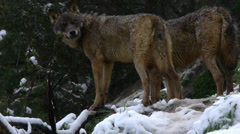 Two Iberian wolves Stock Footage