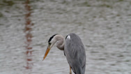 Stock Video Footage of Grey Heron Close-up 2
