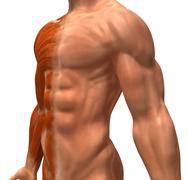 Human musculature - stock illustration