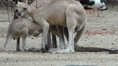 Eastern Grey Kangaraoo Family Stock Footage