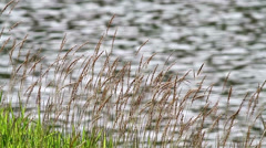 Slo-Mo Lalang Grass By The Pond 6 Stock Footage