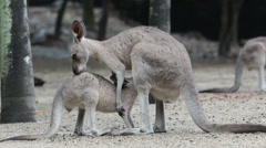 Eastern Grey Kangaroo Nursing Stock Footage