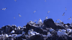 Morus bassanus, gannet, gannetry, Bass Rock, Stock Footage