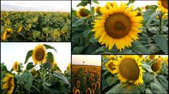 Sunflower golden field multiscreen Stock Footage