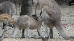 Wildlife Habitat Kangaroos and Wallabies Stock Footage