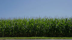 Corn Stalk Crops - stock footage