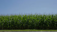 Stock Video Footage of Corn Stalk Crops