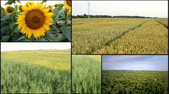 Sunflower,corn,wheat,barley,soya agricultural fields multiscreen mix Stock Footage