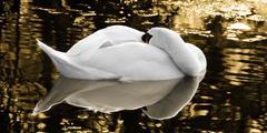 White swan sleeping golden colours Stock Photos