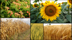 wheat,barley,sunflower,corn,soya agricultural fields multiscreen mix - stock footage