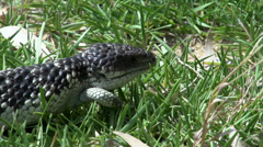 Close up from a Shingleback Lizard walking through the grass Stock Footage