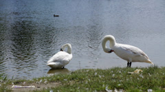 Swans on lake arranging feather, resting Stock Footage