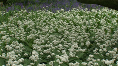 Pan Carpet of Ramsons, Allium ursinum and Common Bluebells - full screen Stock Footage