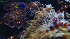 Coral and Clown fish - stock footage