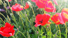 Poppies flowers - meadow with soft sun light Stock Footage